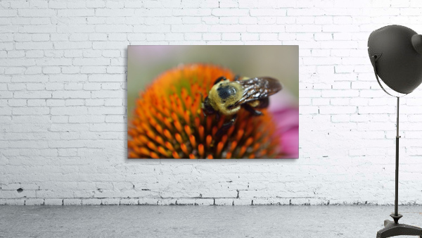 Purple Coneflower with bee
