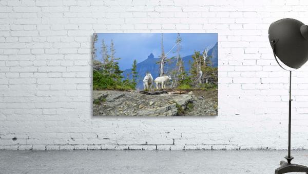 Mountain Goats at Logan Pass