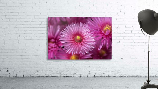 Pink Ice Plant Flowers