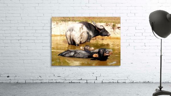 Water Buffalo Family Portrait