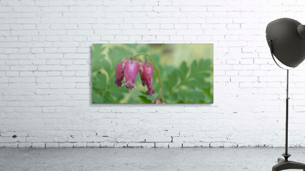 Bleeding Heart Flower Photography