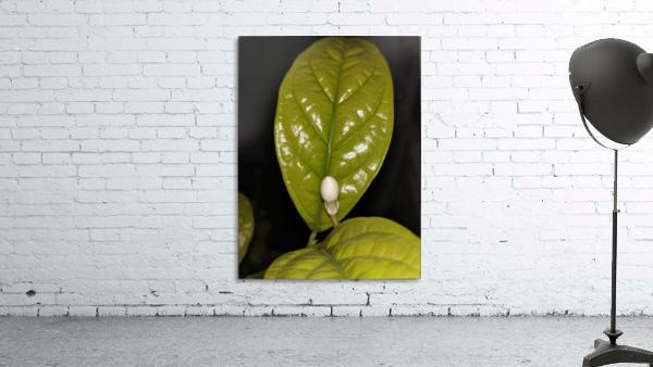 Jasmine Flower Fragrance