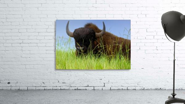 Female Bison