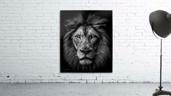 A Lion in Black & White