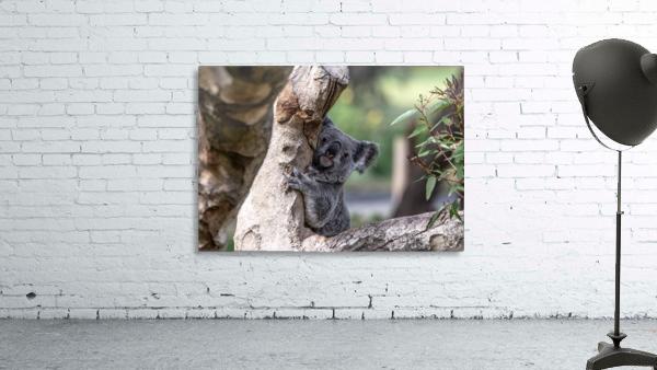 Australias Own Koala Bear