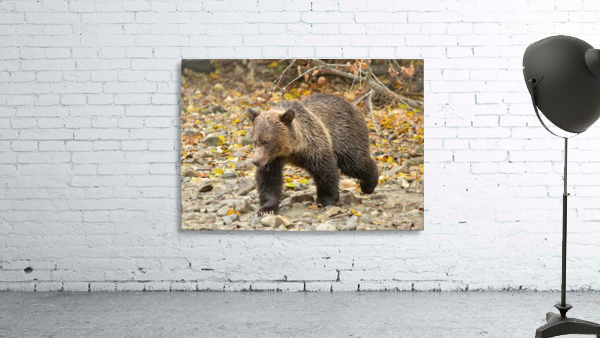 Grizzly Youngster