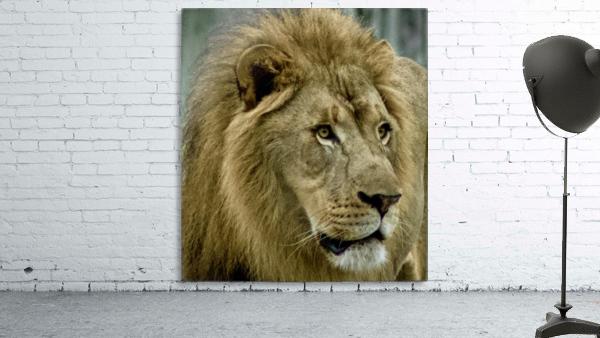 Extreme close up Lion