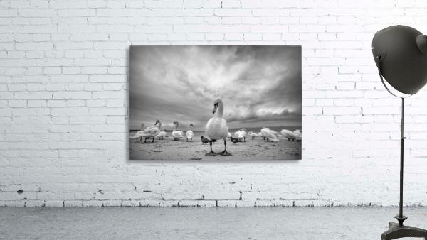Swans on a winter beach