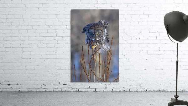 Great Grey Owl - Hanging on