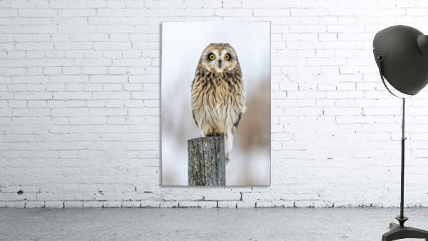 Short Eared Owl - Eyes wide open