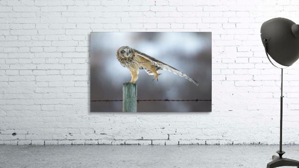 Short Eared Owl - Big Stretch