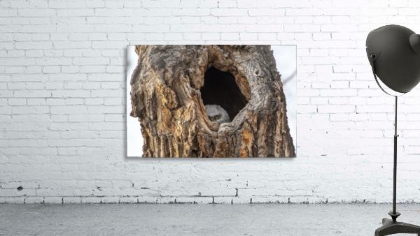 Great Horned Owl - Peek a boo