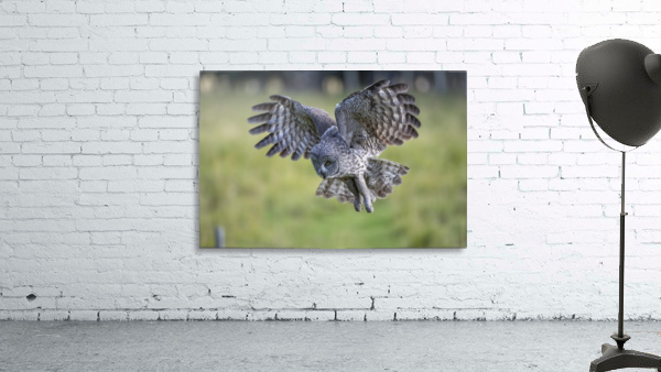 Great Grey Owl - Incoming
