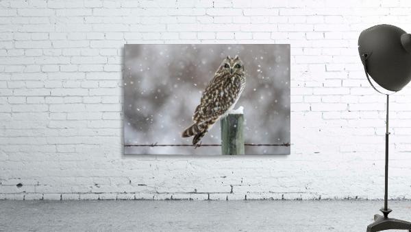 Short Eared Owl - Snow Storm