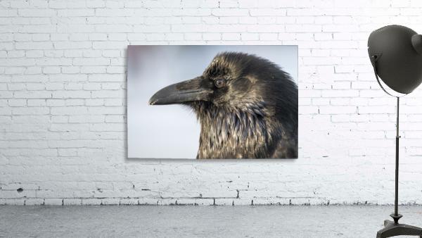 Raven - Up Close