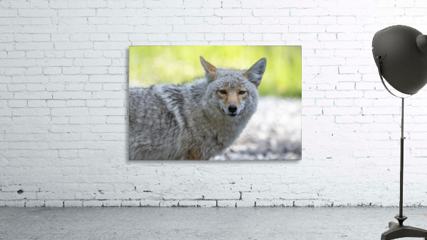 Coyote - Looking at you.