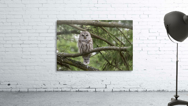 Barred Owl - Eye Contact