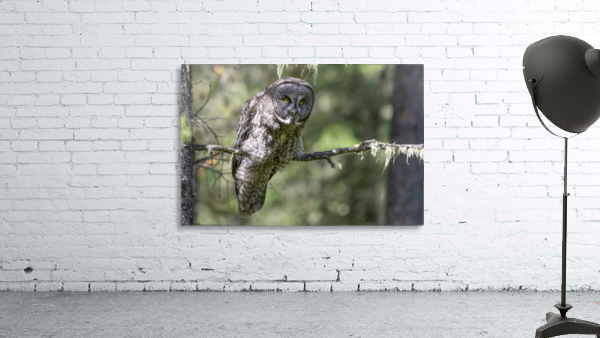 Great Grey Owl - Hunting mode