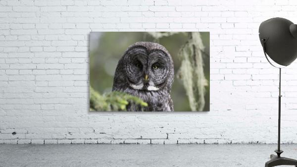 Great Grey Owl - Eye to Eye