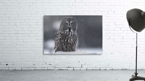 Great Grey Owl - Hunting at Sunset