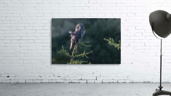 Great Grey Owl - Tree Top Hunting