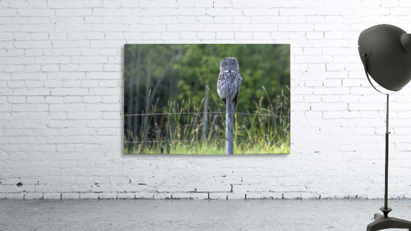 Great Grey Owl - Henry