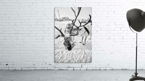 Evenki Reindeer Herding