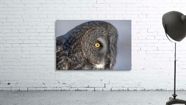 Great Grey Owl up Close
