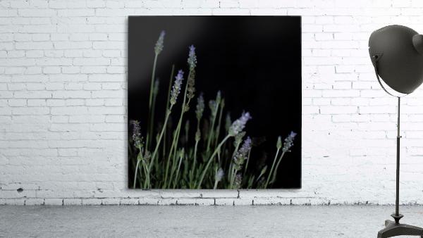 plant flower lavender black background