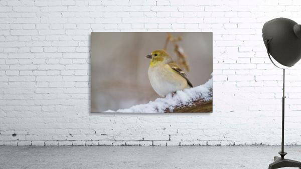 Goldfinch ap 1814