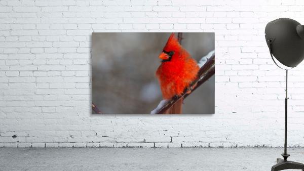 Cardinal ap 1866