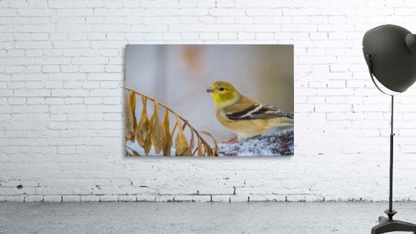 Goldfinch ap 1816