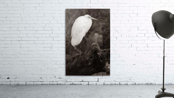 Great White Egret ap 1848 B&W