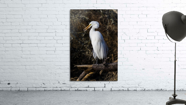 Great White Egret ap 2765