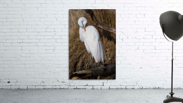 Great White Egret ap 2767