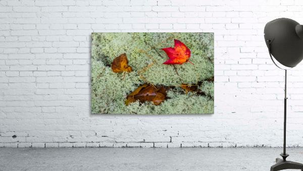 Leaves  N  Lichen ap 1553