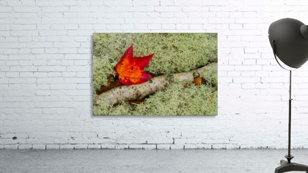 Maple Leaf ap 1555