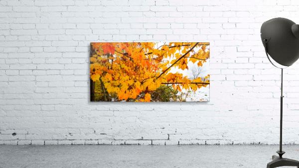 Maple Leaves ap 1589