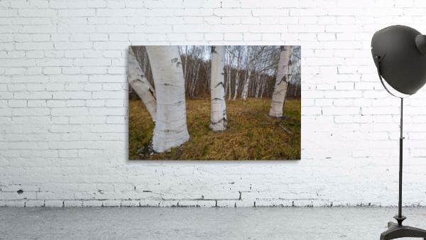 White Birch ap 2242