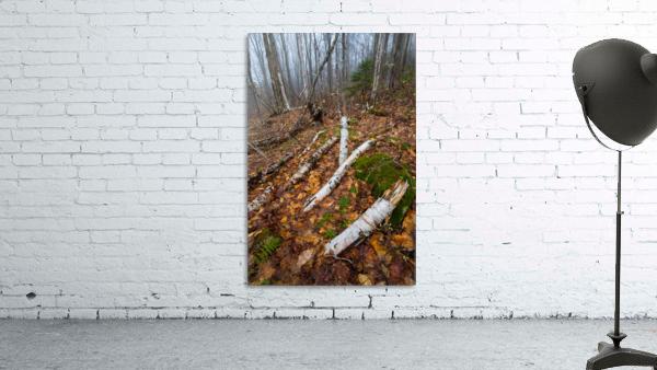 White Birch ap 2186