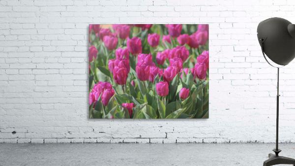 Fantasically Fuschia Tulips
