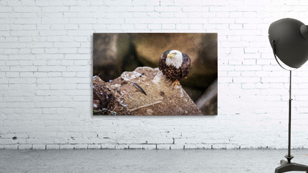 Bald Eagle on a Ledge Print