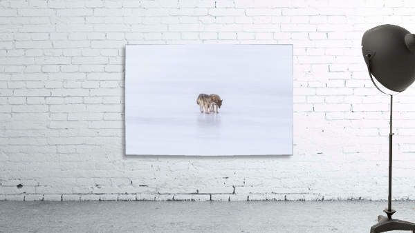 Two Coyote Print