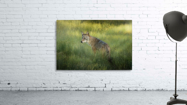 Evening Coyote Print