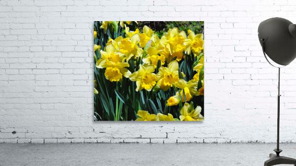 Yellow Daffodils wc