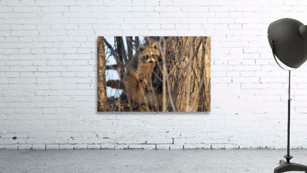 Racoon peeking through twigs
