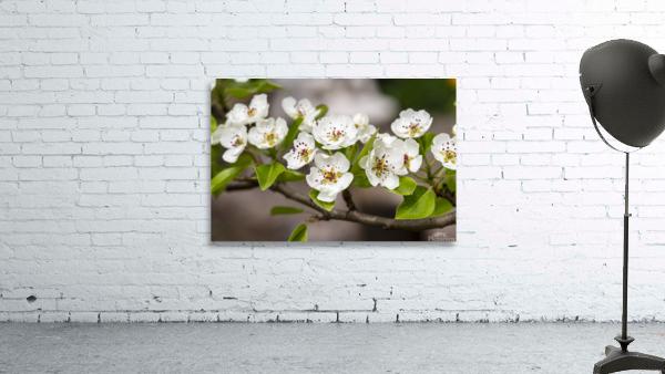 Poirier en fleurs 2
