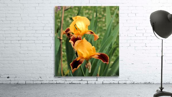 Yellow Brown Iris
