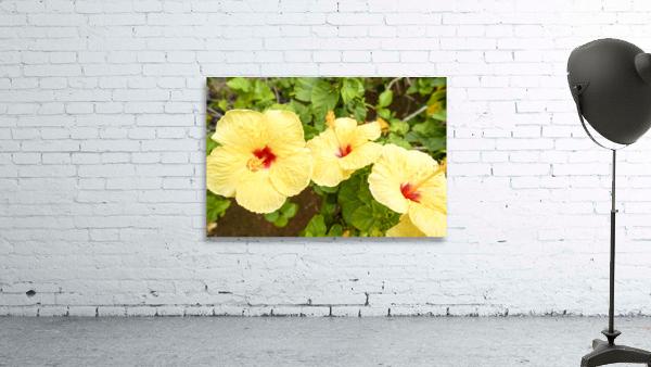 Hibiscus Trio   Tropical Flowers Hawaii