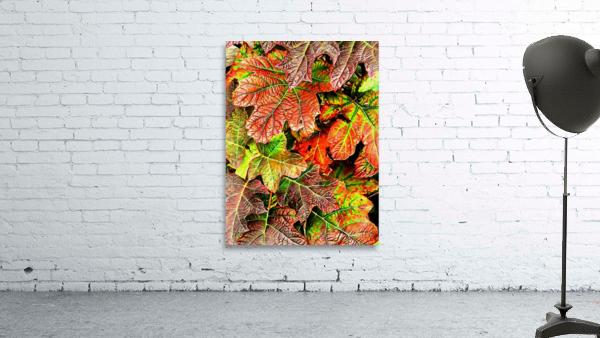 Oak Leaved Hydrangea In Autumn